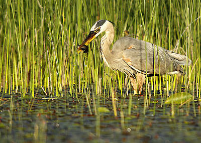 Photograph - Heron's Snack by Mike Hainstock
