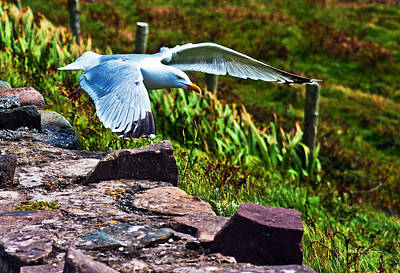 Photograph - Herring Gull by Edward Peterson