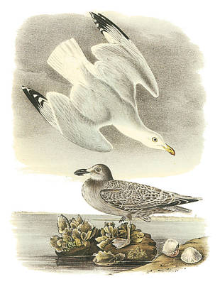 North Sea Painting - Herring Gull by John James Audubon