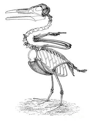 Hesperornis Art Print by Science Source
