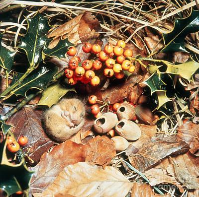 Photograph - Hibernating Dormouse by Jane Burton