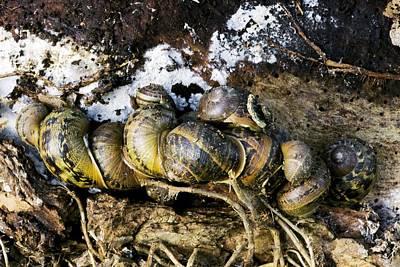 Hibernation Photograph - Hibernating Garden Snails by Dr Keith Wheeler
