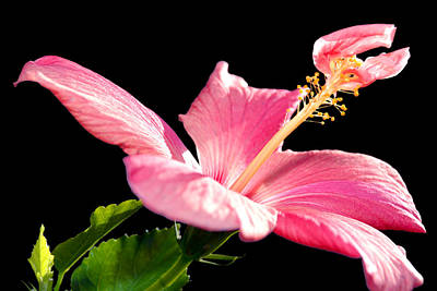 Photograph - Hibiscus by Anthony Citro