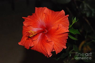 Art Print featuring the photograph Hibiscus Close Up by Mark McReynolds