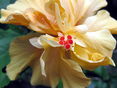 Photograph - Hibiscus Dancer IIn Yellow by Sarah Hornsby