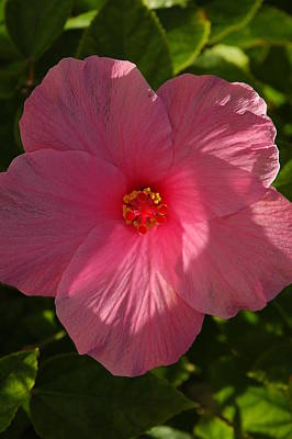 Photograph - Hibiscus by David Weeks