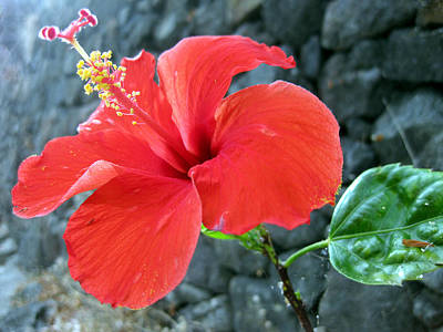 Photograph - Hibiscus On The Rocks by Sarah Hornsby
