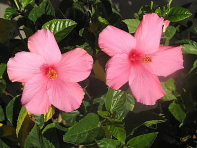 Photograph - Hibiscus Pair by Richard Bryce and Family