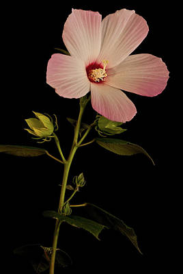 Photograph - Hibiscus Portrait by  Onyonet  Photo Studios