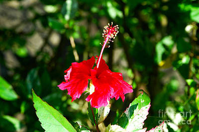 Art Print featuring the photograph Hibiscus by Pravine Chester