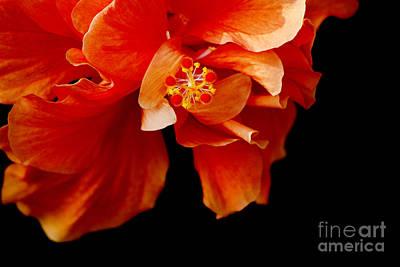 Photograph - Hibiscus Warming by Nola Lee Kelsey