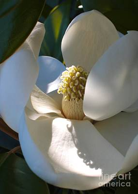 Sunlight On Flowers Photograph - Hidden Magnolia by Carol Groenen