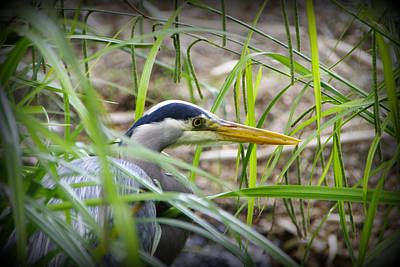 Photograph - Hiding In The Reeds by Marilyn Wilson