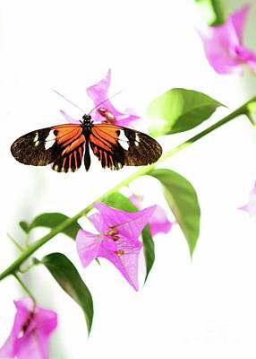Butterfly In Flight Photograph - High Key Piano Key Butterfly by Sabrina L Ryan