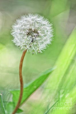 High Key Pusteblume Art Print