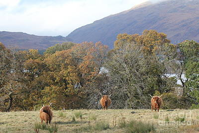 Photograph - Highland Cattle by David Grant