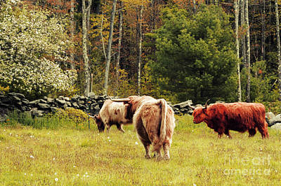 Long Horn Cow Photograph - Highland Cattle by HD Connelly