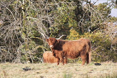 Photograph - Highland Cow by David Grant
