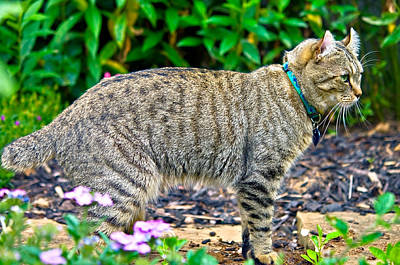 Highland Lynx Cat In Garden Print by Susan Leggett