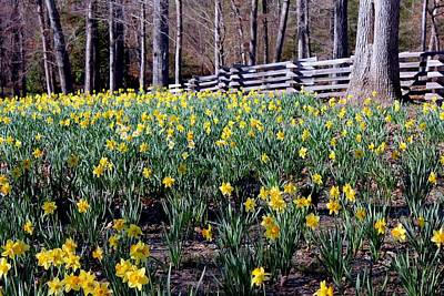 Hills Of Daffodils Art Print by Betty Northcutt