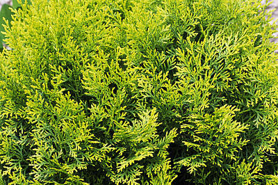 Nana Photograph - Hinoki False Cypress 'nana Aurea' by Archie Young