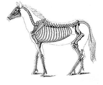 Hipparion, Cenozoic Mammal Art Print by Science Source