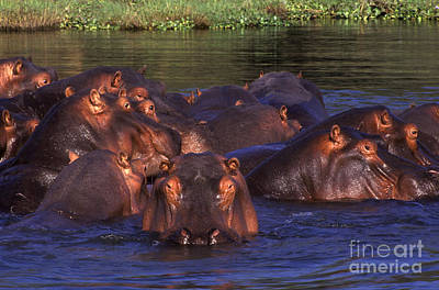Photograph - Hippo Pool - Zambia by Craig Lovell