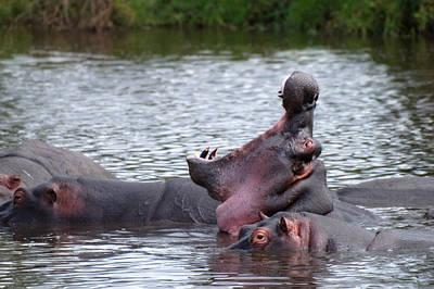 Photograph - Hippopotamus - Hippopotame by Michel Legare