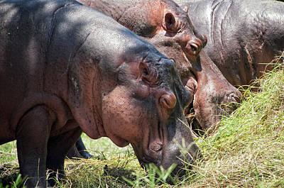 Antigua Photograph - Hippopotamus by Francesco Nadalini