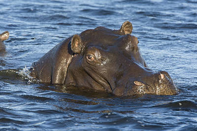 Hippopotamus Hippopotamus Amphibius Art Print by Suzi Eszterhas
