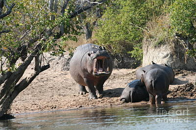 Wall Art - Photograph - Hippopotamus by Judith Hochroth