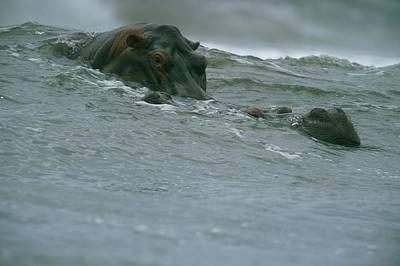 Gabon Photograph - Hippopotamuses Riding A Wave by Michael Nichols