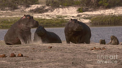 Photograph - Hippos And Baboons by Mareko Marciniak