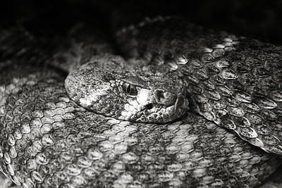 Reptiles Royalty-Free and Rights-Managed Images - Hissy Fit by Ricky Barnard