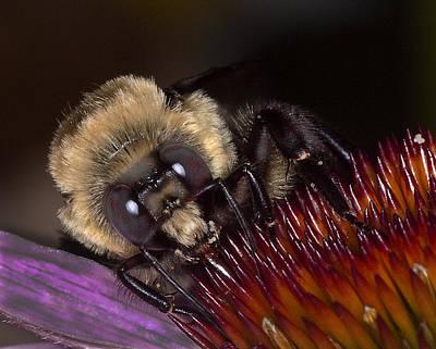 Histute Bee Art Print by Charles Dana