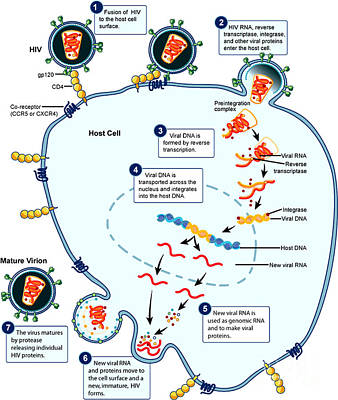 Hiv Virus Replication Cycle Print by Science Source