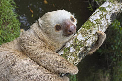 Hoffmanns Two-toed Sloth Costa Rica Art Print by Suzi Eszterhas