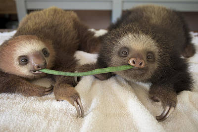 Hoffmanns Two-toed Sloth Orphans Eating Art Print by Suzi Eszterhas