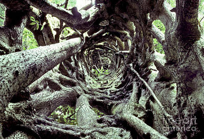 Hollow Trunk Of Strangler Fig Print by Greg Dimijian