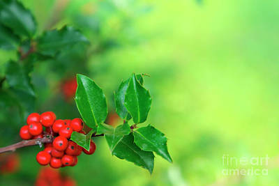 Holly Branch Art Print
