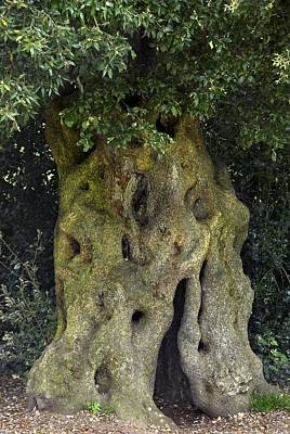Upton Photograph - Holm Oak (quercus Ilex) Tree Trunk by Colin Varndell