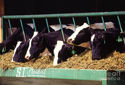 Holstein Dairy Cows Art Print by Photo Researchers