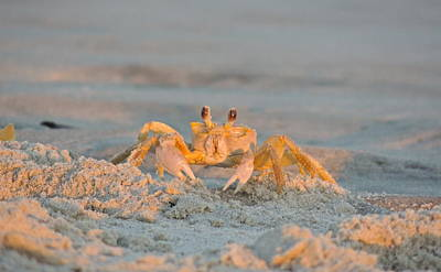 Photograph - Holy Crab by Eve Spring