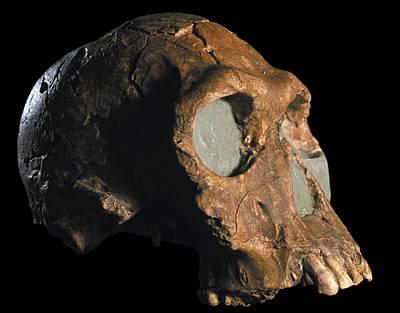 Ers Photograph - Homo Habilis Skull by Javier Truebamsf