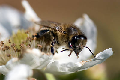 Photograph - Honey Bee - Black Berry-2 by Gary Rose