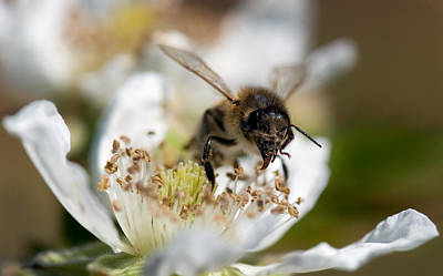 Photograph - Honey Bee - Black Berry-3 by Gary Rose