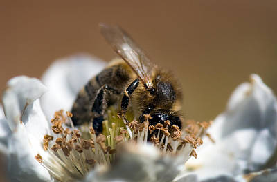 Photograph - Honey Bee - Black Berry by Gary Rose