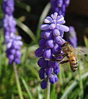 Blue Grapes Photograph - Honey Bee And Grape Hyacinth by Chris Berry