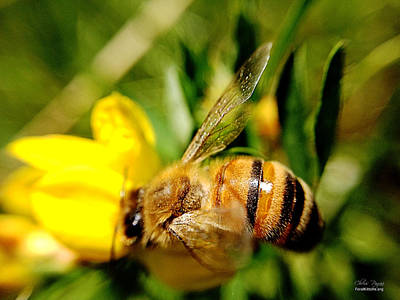 Photograph - Honey Bee by Chriss Pagani