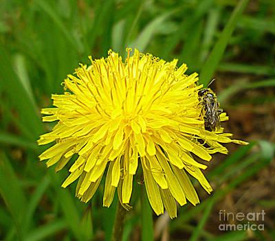 Photograph - Honey Bee Full Of Pollen by Renee Trenholm